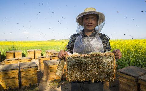 世界蜜蜂日:联合国彰显保护大自然甜蜜使者不可替代的重要作用