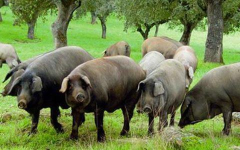 美国的猪肉为何那么便宜?